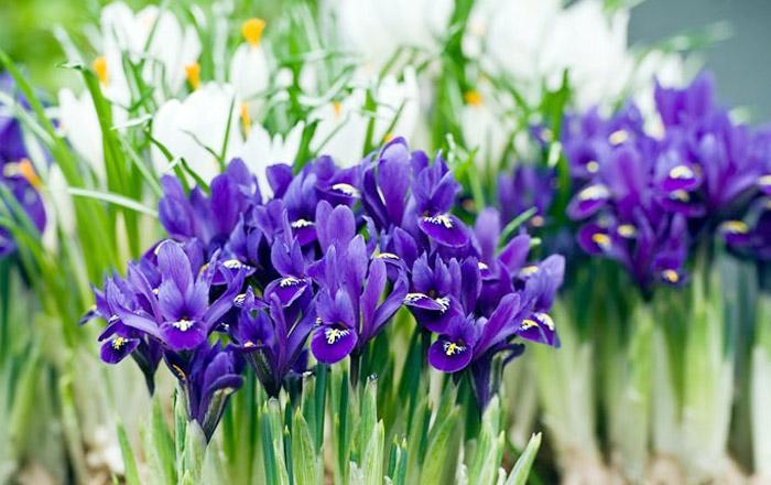 Iris Care Guide
