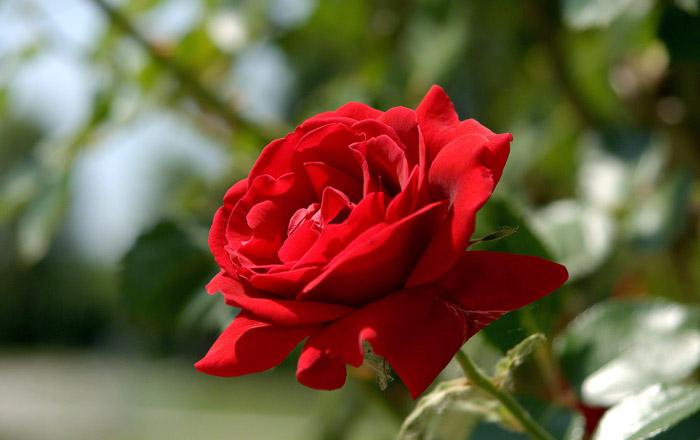 Rose Care Guide