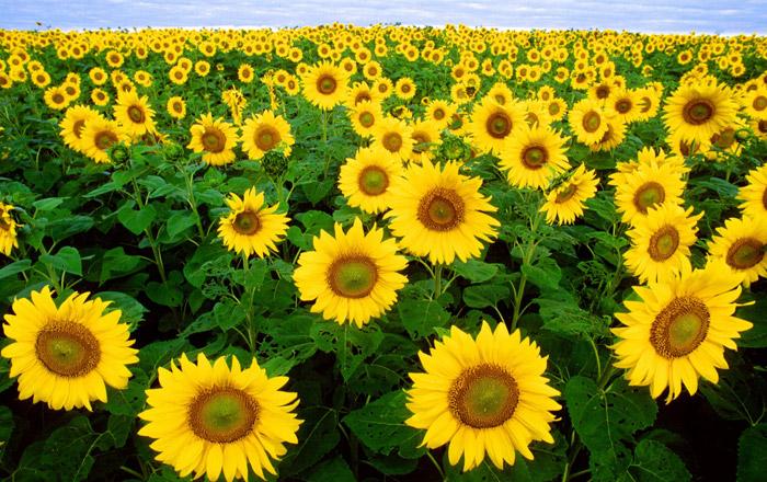 Sunflower Care Guide