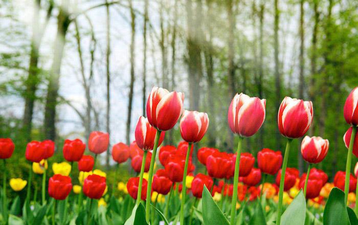 Tulip Care Guide