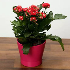 Pink Kalanchoe Plant in Pink pot