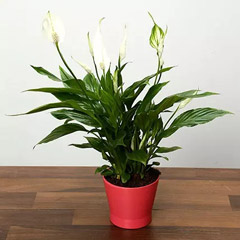 Spathiphyllum Plant In Pink Ceramic Pot