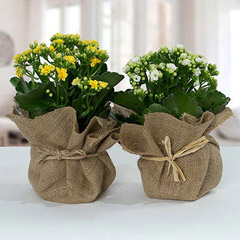 Jute Wrapped Dual Potted Plants