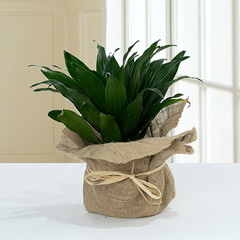 Green Elegance in Jute Wrapping Pot