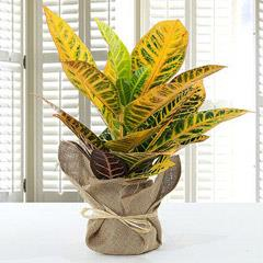 Codiaeum Petra Plant with Jute Wrapped Pot