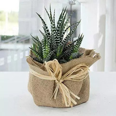 Jute Wrapped Howarthia Plant