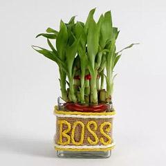 Evergreen Lucky Bamboo For Boss