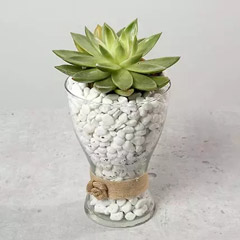 Green Echeveria with Stones in Glass Vase