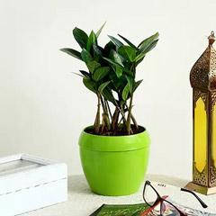 Zamia Plant in Green Plastic Pot