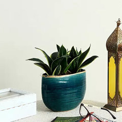 Sansevieria Plant in Blue Ceramic Pot