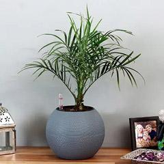 Areca Plam Plant in Blue Plastic Pot