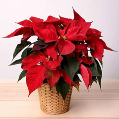 Poinsettia Plant In Wooden Vase
