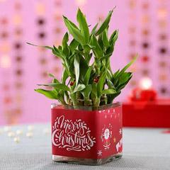 Christmas Good Luck Bamboo Plant
