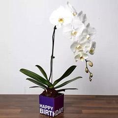 White Phalaenopsis Plant For Birthday