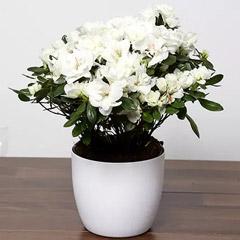 Beautiful White Azalea Plant