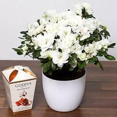 Beautiful White Azalea Plant and Godiva Truffles