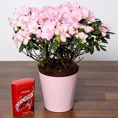 Beautiful Pink Azalea Plant and Lindt Truffles