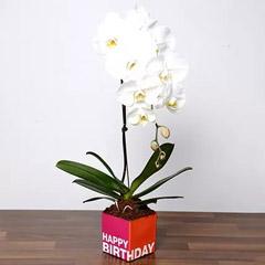 White Phalaenopsis Plant In Glass Vase
