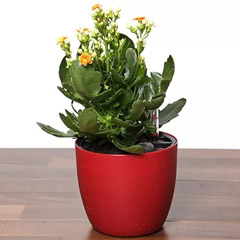 Orange Kalanchoe Plant In Red Pot