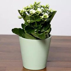 White Kalanchoe Plant In Green Pot