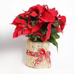 Poinsettia Plant in Natural Jute