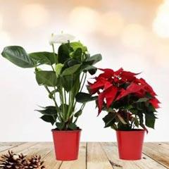 White Anthurium and Poinsettia Plant